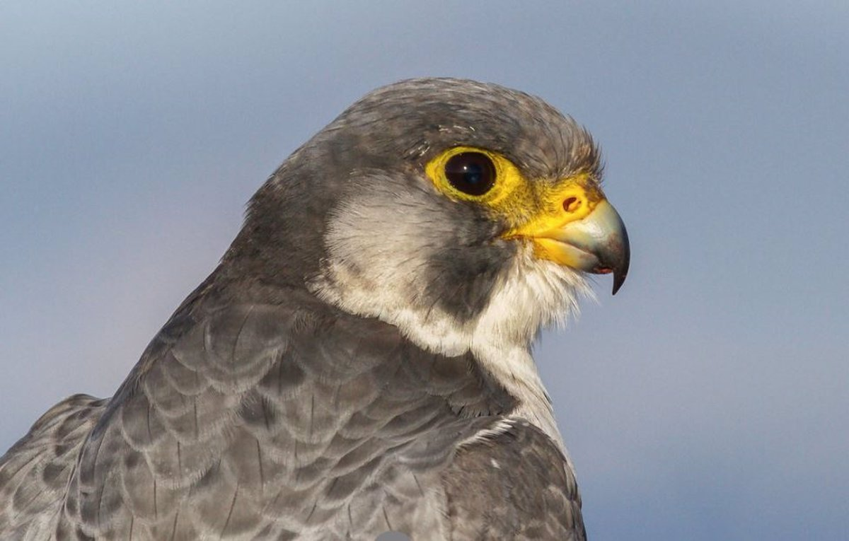 The natural composition of hunting falcons adapts to their surroundings.