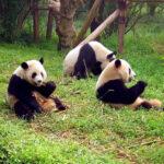 The panda bear is no longer critically endangered