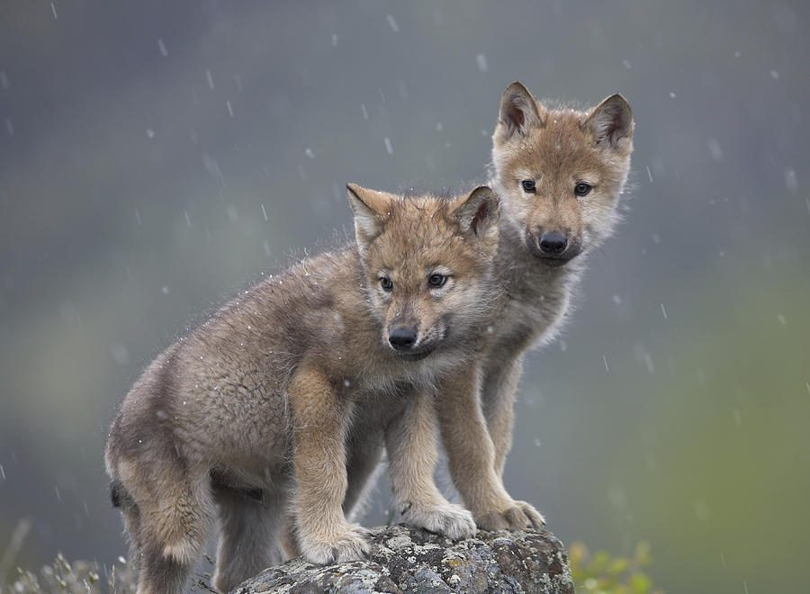 For comparison, wolf cubs were used in the test.
