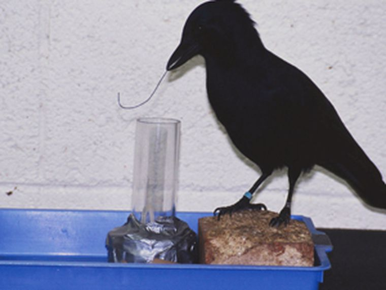 In controlled trials in captivity, they also used the same material for their tools.