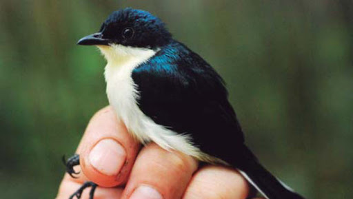 A new species of bird has been discovered in New Guinea