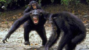 Las batallas entre gorilas y chimpancés son feroces.