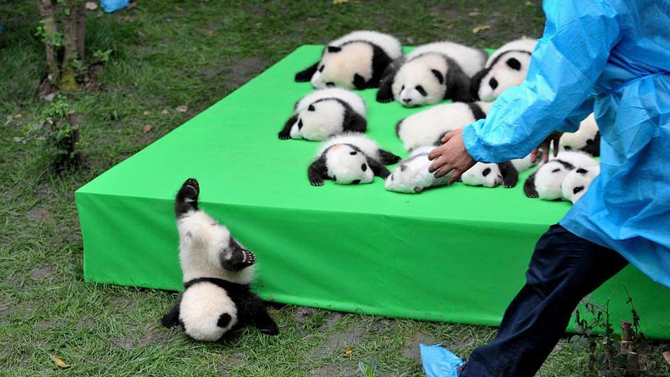 The panda bear is no longer critically endangered.  You are not adorable