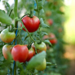 Tomatoes that send electrical signals