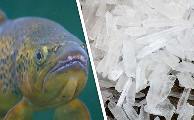 Meth-dependent trout are an unexpected problem.