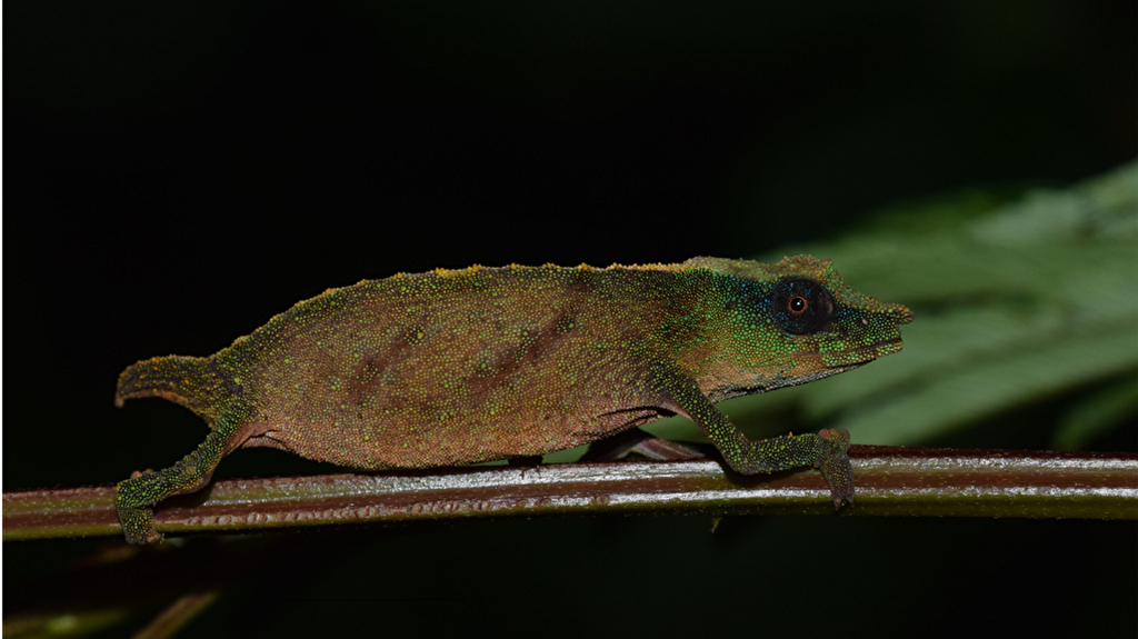 The rarest chameleon in the world has been found and is believed to be extinct.