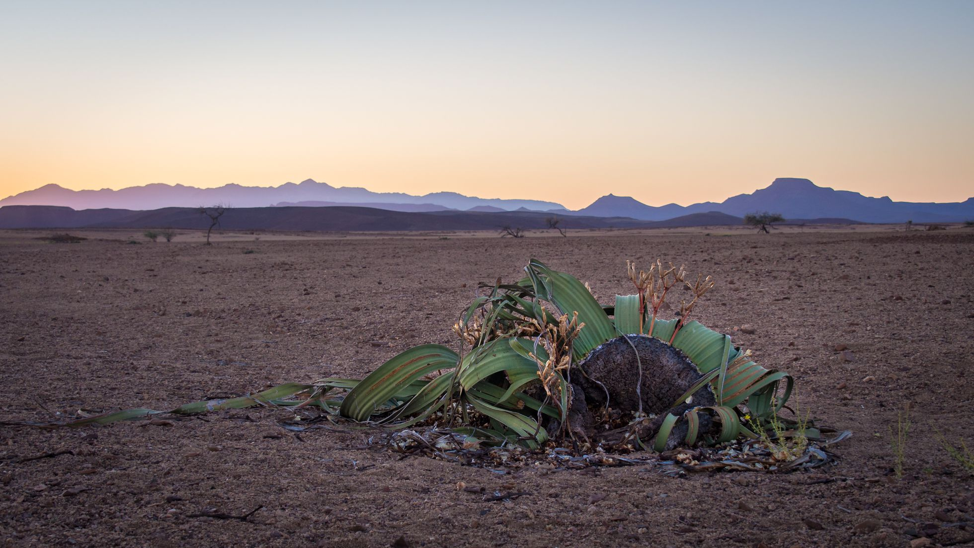 The plant that borders on immortality, the Welwitschia.