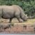 You are trying to save the northern white rhinoceros from extinction