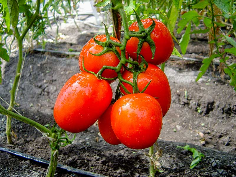 Tomatoes have been intervened numerous times by science.