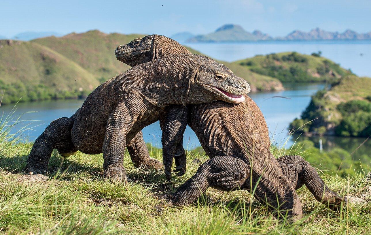 The endangered monster, the Komodo dragon.